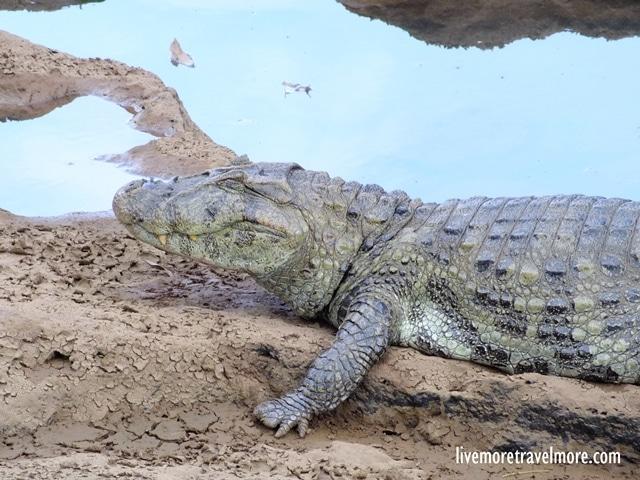 Iguazu Falls: Crocodile