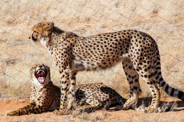 Live More, Travel More in Namibia with Chameleon Safaris - photo by Elaine Villatoro - Sossusvlei - Cheetahs - Chitas