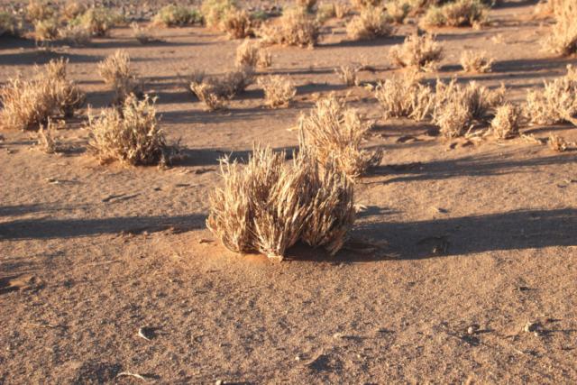 Namibia - Sossusvlei - Desert - Grass