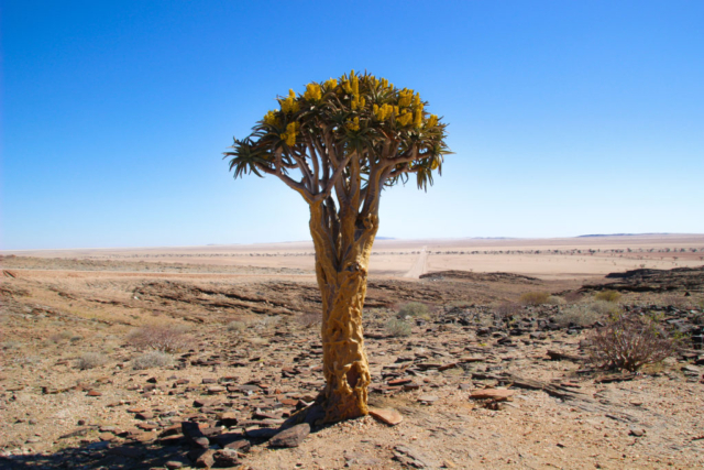 Live More, Travel More in Namibia with Chameleon Safaris - photo by Elaine Villatoro - Aloe Tree - Aloe Vera  - Desert of Namibia - Deserto da Namíbia