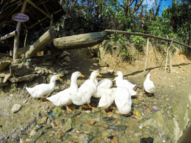 Elaine Villatoro - Live More, Travel More - Vietnam - Vietnã - Sapa - Cat Cat Village - Vilarejo - Khu Du Lich Cat Cat - Hike - Trilha - Patos - Ducks