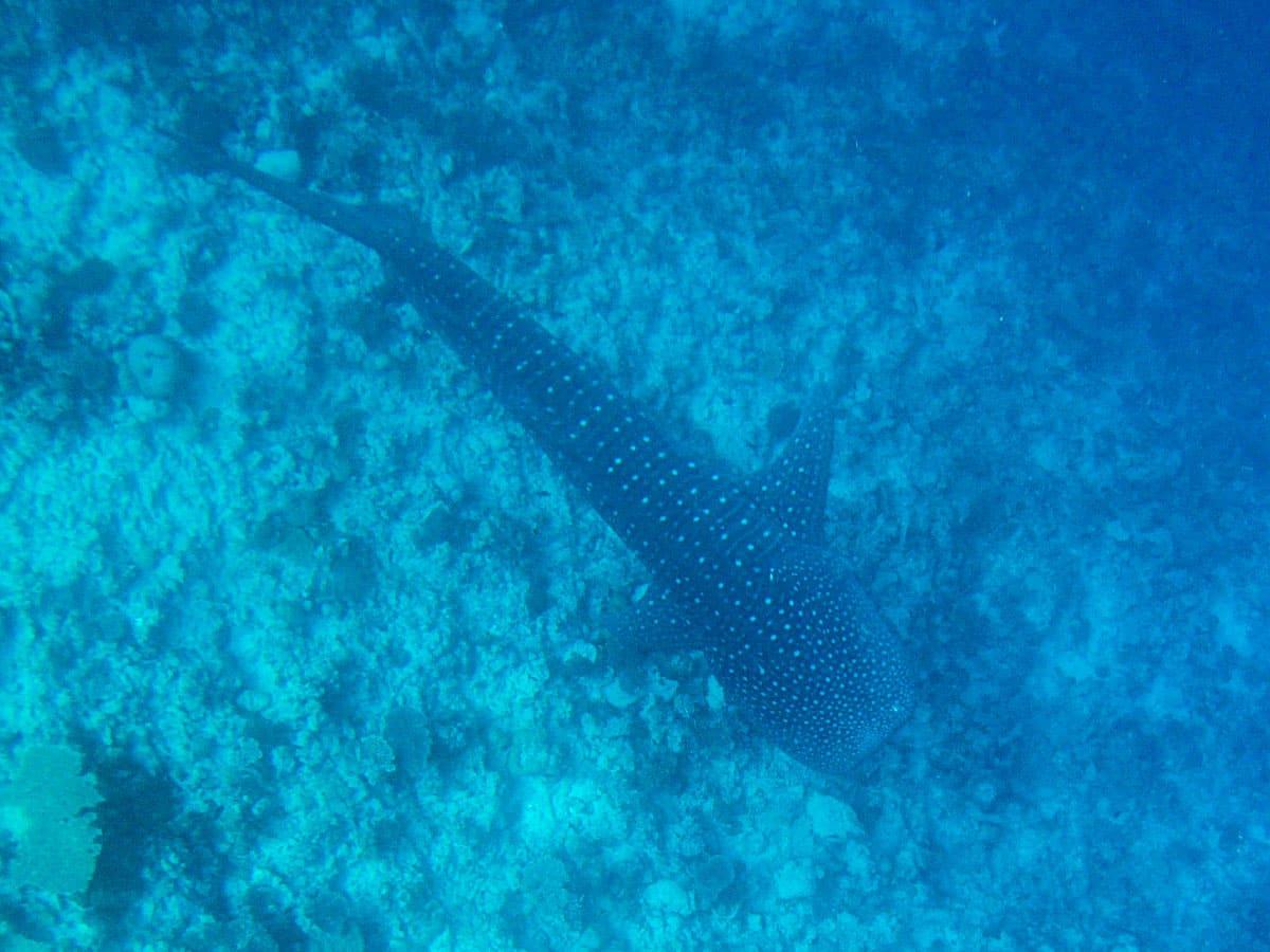Tubarão Baleia na ilha Dhigurah nas Maldivas