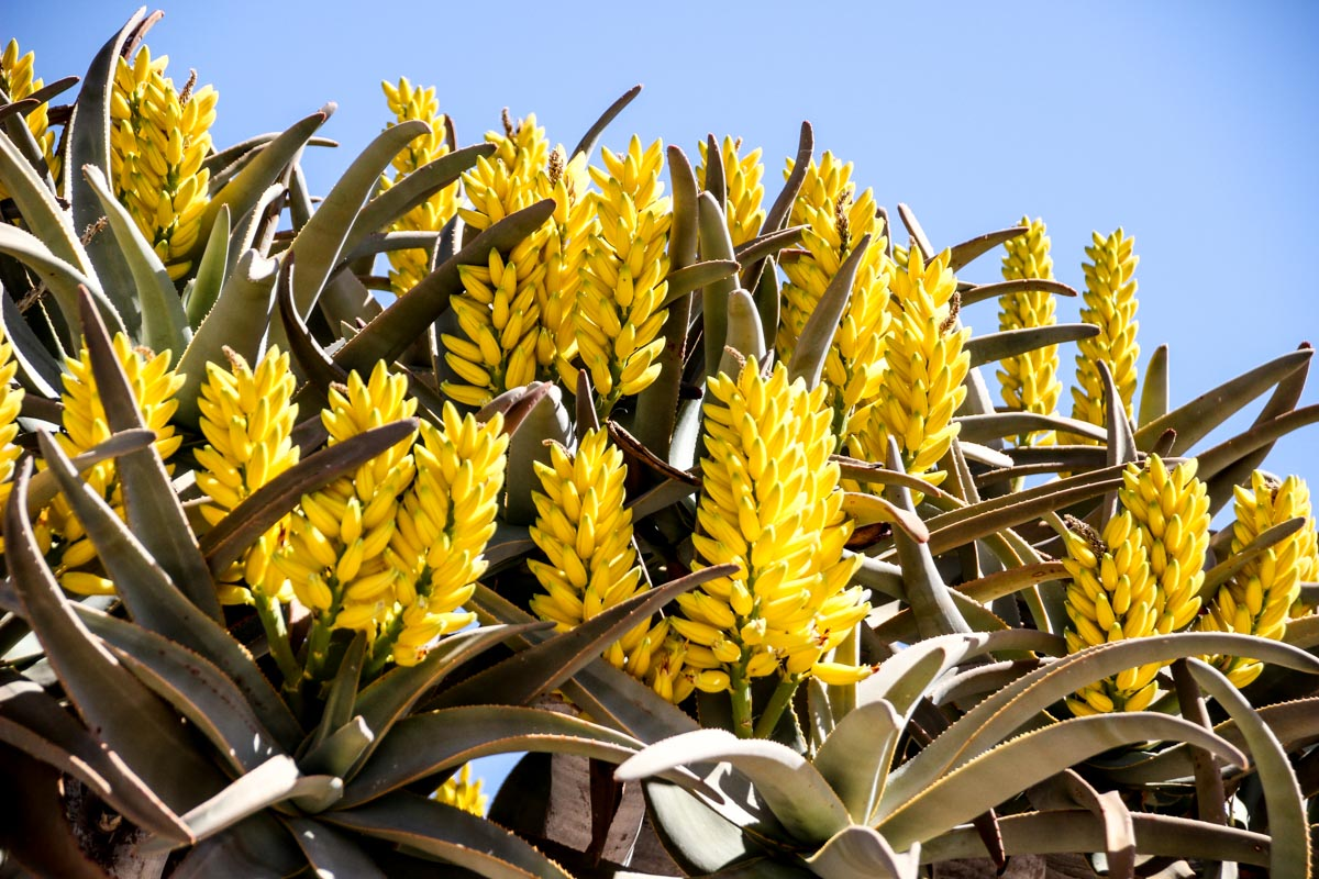 Aloe tree flower from Namibia