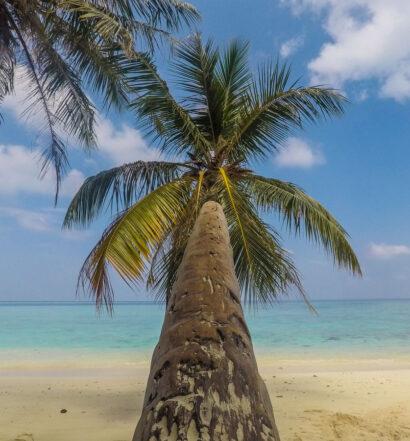 Coqueiro em linda praia de Gulhi