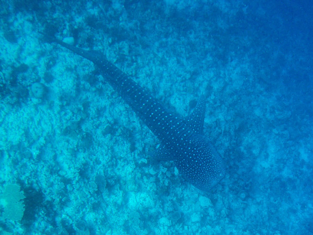 Scuba diving with whale shark in Dhigurah - Maldives