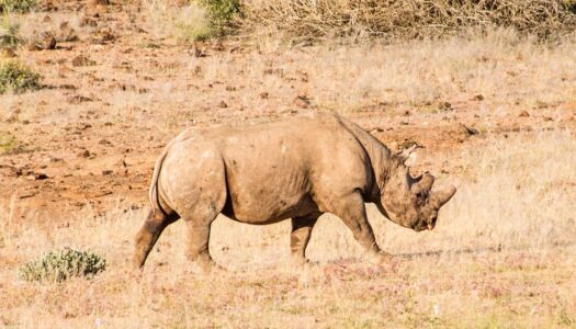 Black Rhino Tracking in Namibia