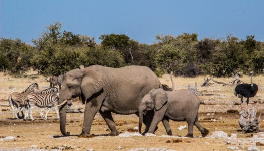 NAMIBIA – ETOSHA SAFARI – 5% DISCOUNT WITH CHAMELEON SAFARIS