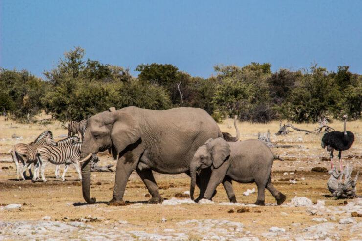 Discount for Etosha Safari with Chameleon Safaris in Namibia