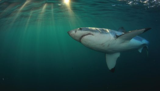SOUTH AFRICA – GREAT WHITE SHARK CAGE DIVING – 10% DISCOUNT WITH WHITE SHARK PROJECTS