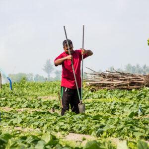 Plantação de Melancias em Thoddoo nas Maldivas