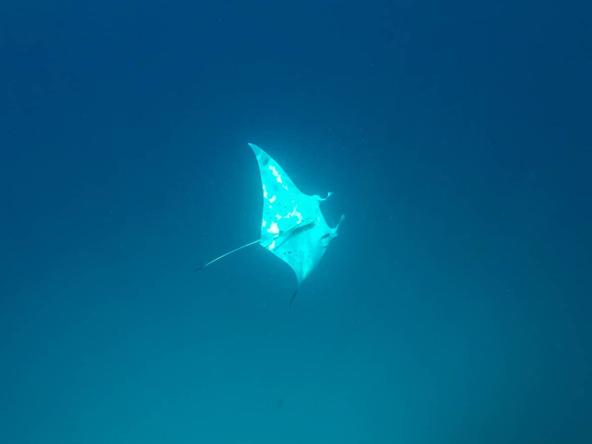 Manta Ray in Rasdhoo - Maldives