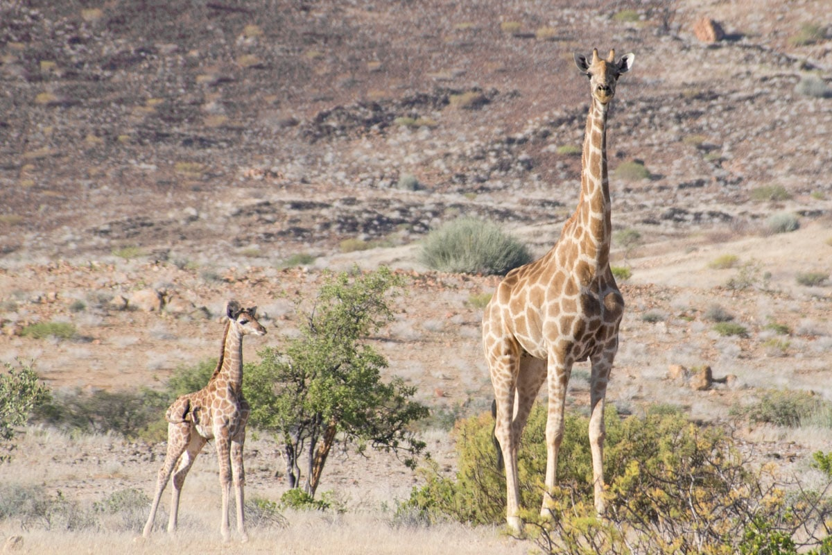 Baby giraffe in Namibia