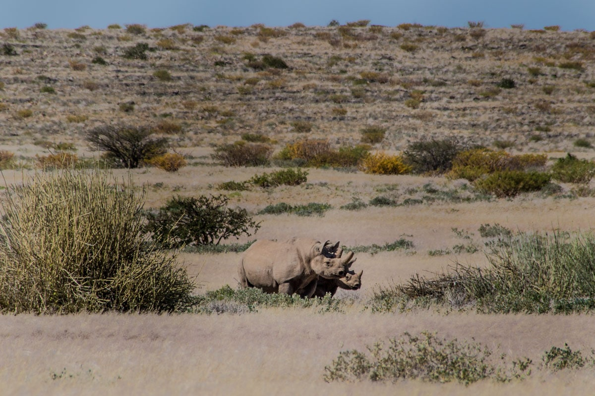 Rhino Tracking in Namibia Desert