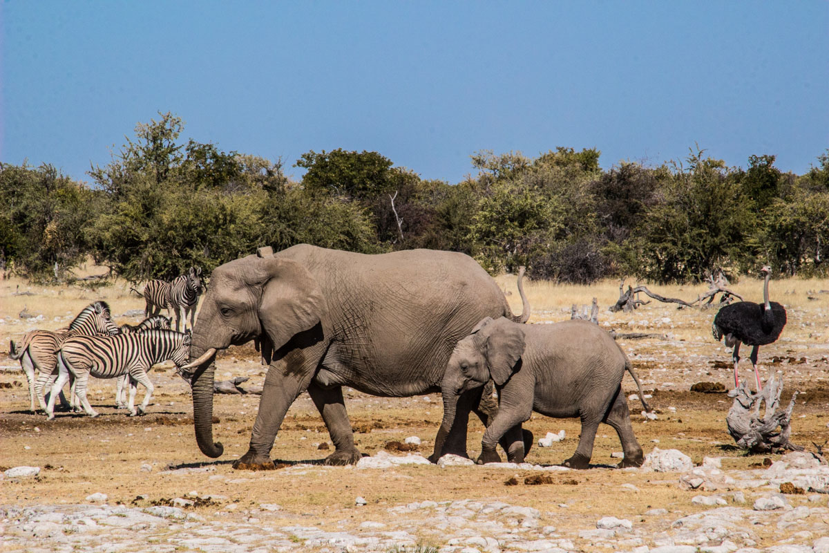 Safari Etosha - Namibia