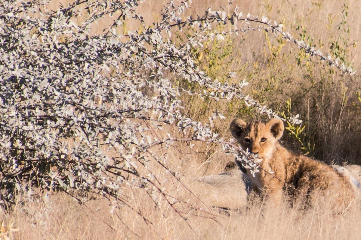 Filhote de leão no Etosha