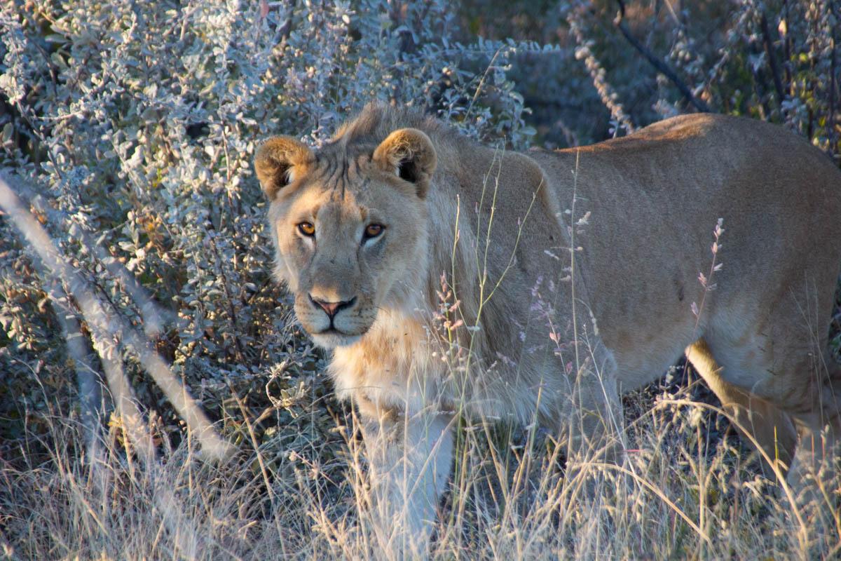 Leão em safari no Etosha