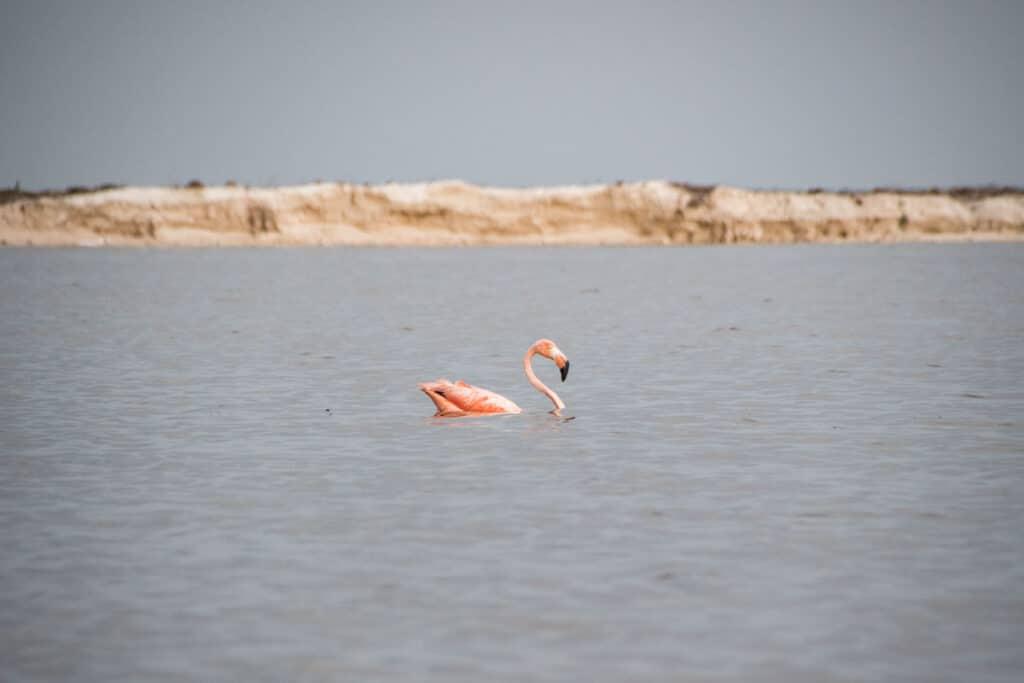 Flamingo at Las Coloradas